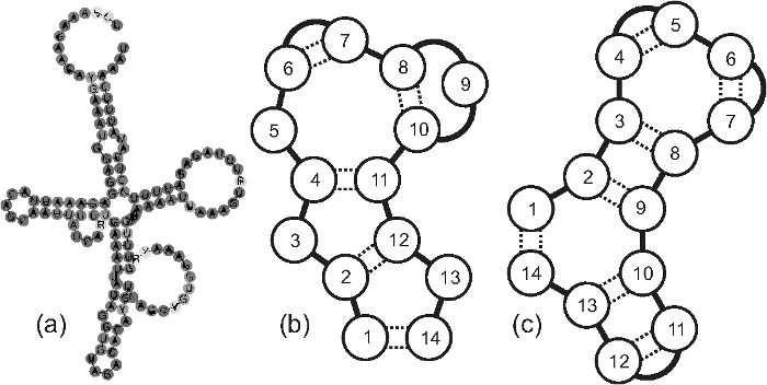 (a) Secondary structure of an RNA gene HAR1F, see http://en.wikipedia.org/wiki/HAR1F; (b) and (c) Schematic cloverleaf structures of RNA-like chains with and without gaps respectively.